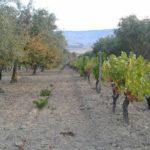 Assyrtiko: caratteristiche di questo vitigno tipico della Grecia e dei suoi vini