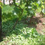 Lo schiava: caratteristiche e storia del vitigno, vini e abbinamenti consigliati