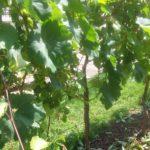 Nero di Troia: caratteristiche e consigli per la coltivazione di questa varietà di uve