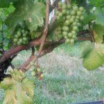 """Il vino """"Urra di Mare"""": caratteristiche e abbinamento del vino DOP della Sicilia"""