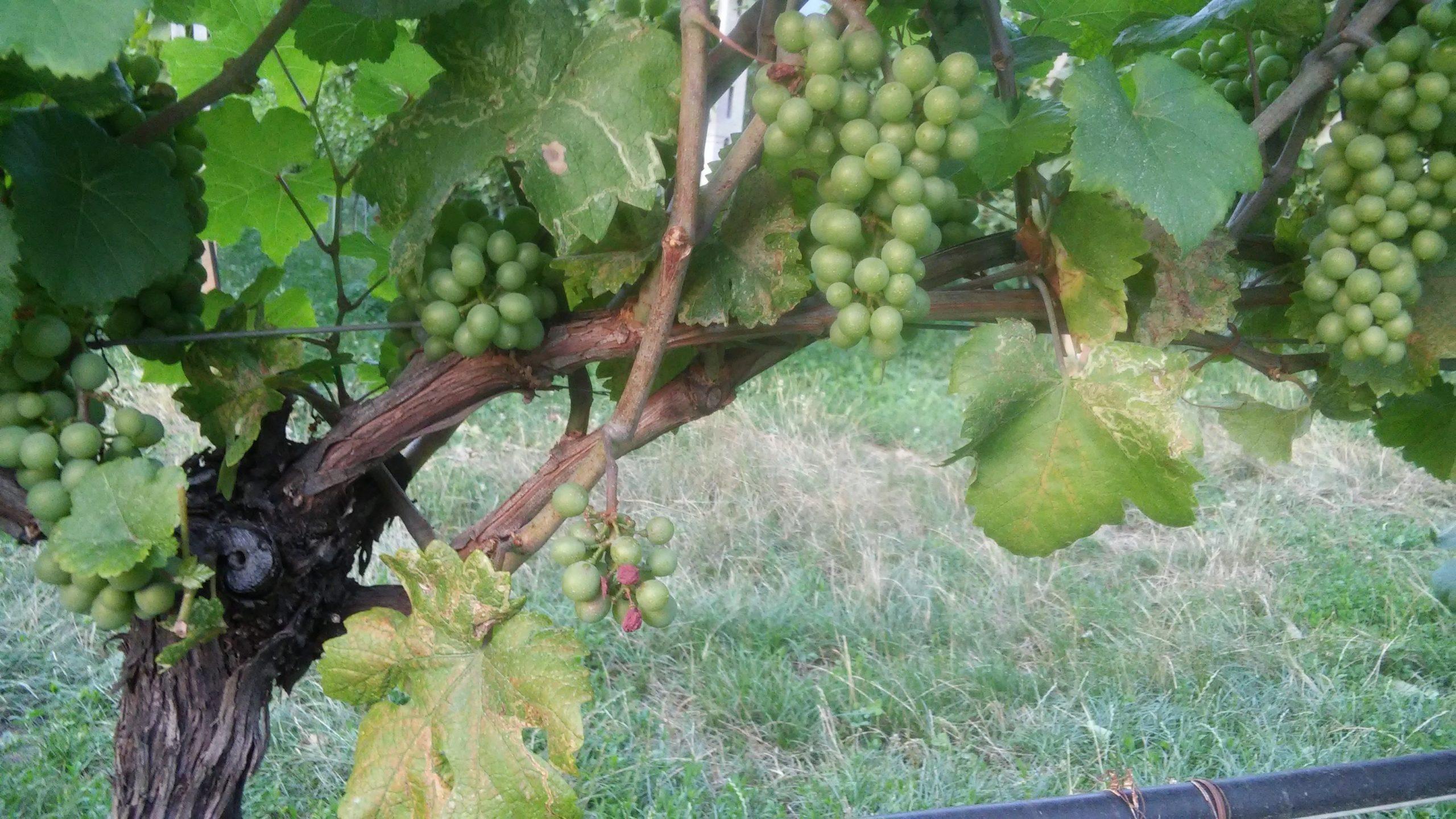 Vino bianco vigneto scaled